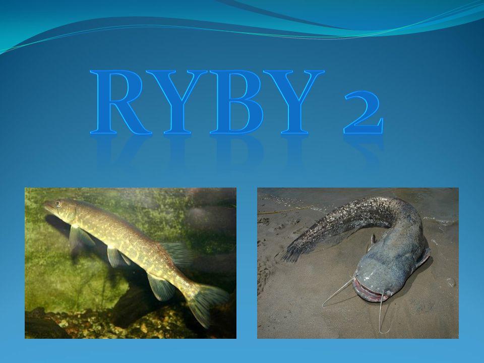 RYBY 2 Ryby 2