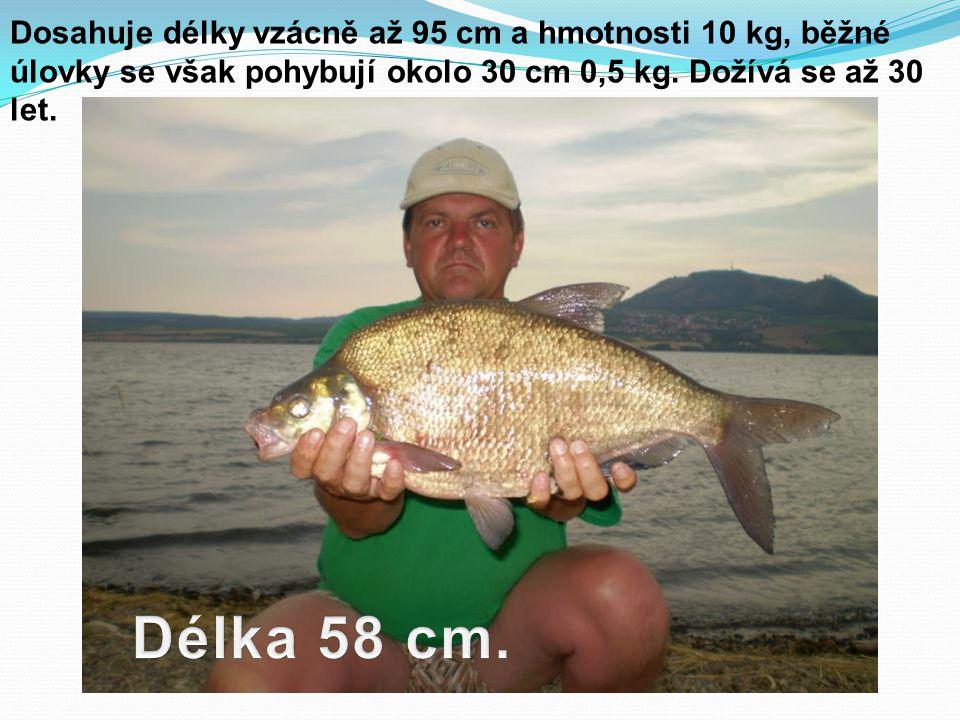 Dosahuje délky vzácně až 95 cm a hmotnosti 10 kg, běžné úlovky se však pohybují okolo 30 cm 0,5 kg. Dožívá se až 30 let.