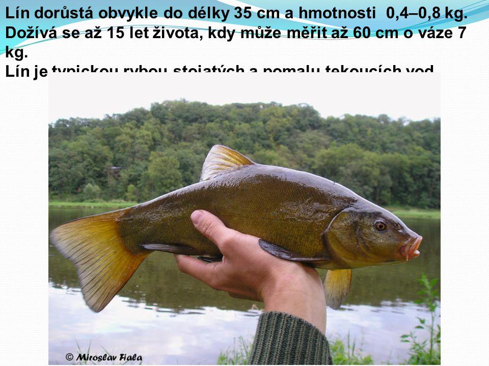Lín dorůstá obvykle do délky 35 cm a hmotnosti 0,4–0,8 kg