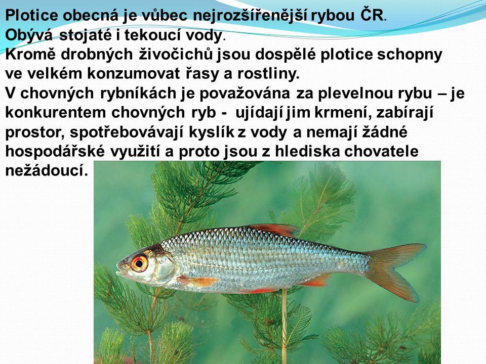 Plotice obecná je vůbec nejrozšířenější rybou ČR.