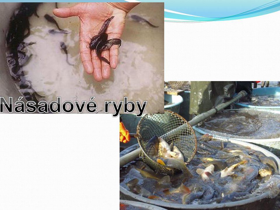 Násadové ryby
