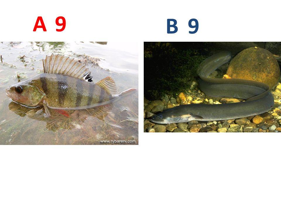 A B 9 A9: okoun říční B9: úhoř říční
