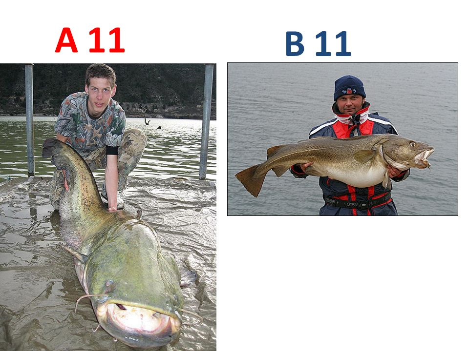 A B 11 A11: sumec obecný B11: treska obecná
