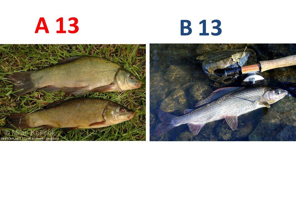 A B 13 A13: lín obecný B13: lipan podhorní