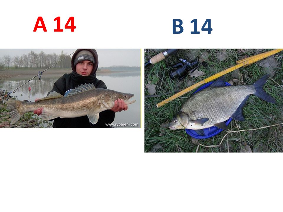 A B 14 A14: candát obecný B14: cejn velký