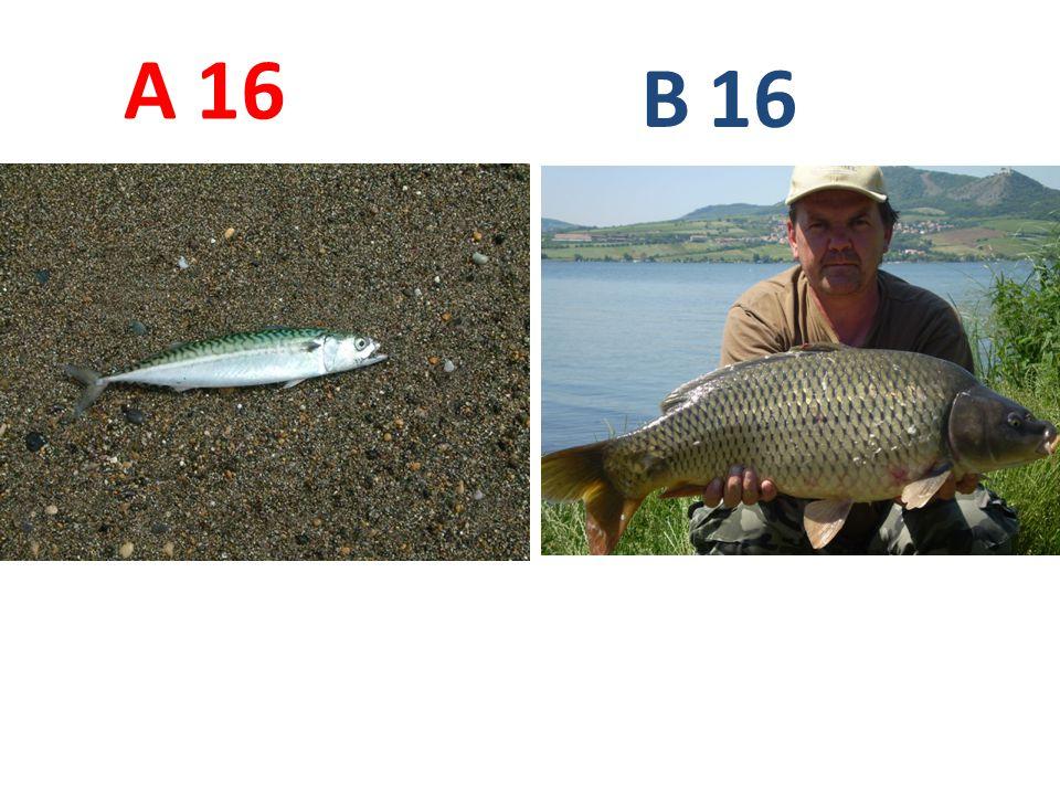 A B 16 A16: makrela obecná B16: kapr obecný