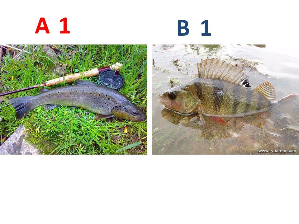 A B. 1. A1: pstruh obecný http://www.mrszlin.cz/obr/ulovky/pstruh_Bedrich.jpg.