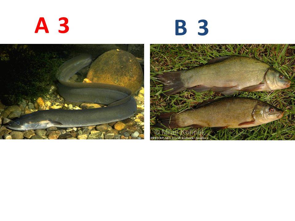 A B 3 A3: úhoř říční http://www.profishers.de/fischinfos/aal_gr.jpg