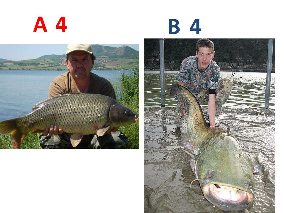 A B 4 A4: kapr obecný http://jadamkuv.txt.cz/