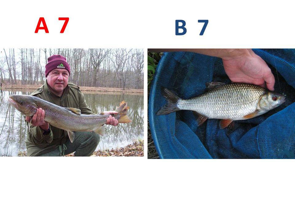 A B 7 A7: losos obecný http://www.mrk.cz/Data/Galerie/21_f1.jpg