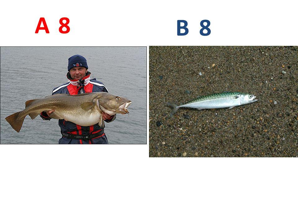 A B. 8. A8: treska obecná http://www.rybolovnorsko.cz/images/clanky/treska_obecna1_2.jpg.