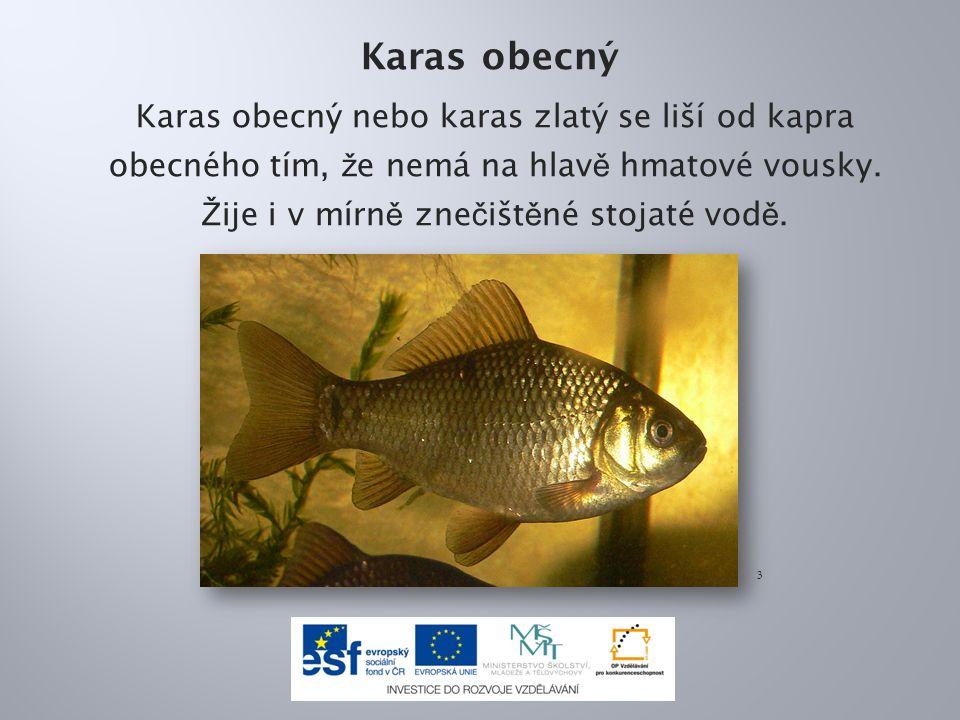 Karas obecný Karas obecný nebo karas zlatý se liší od kapra obecného tím, že nemá na hlavě hmatové vousky. Žije i v mírně znečištěné stojaté vodě.