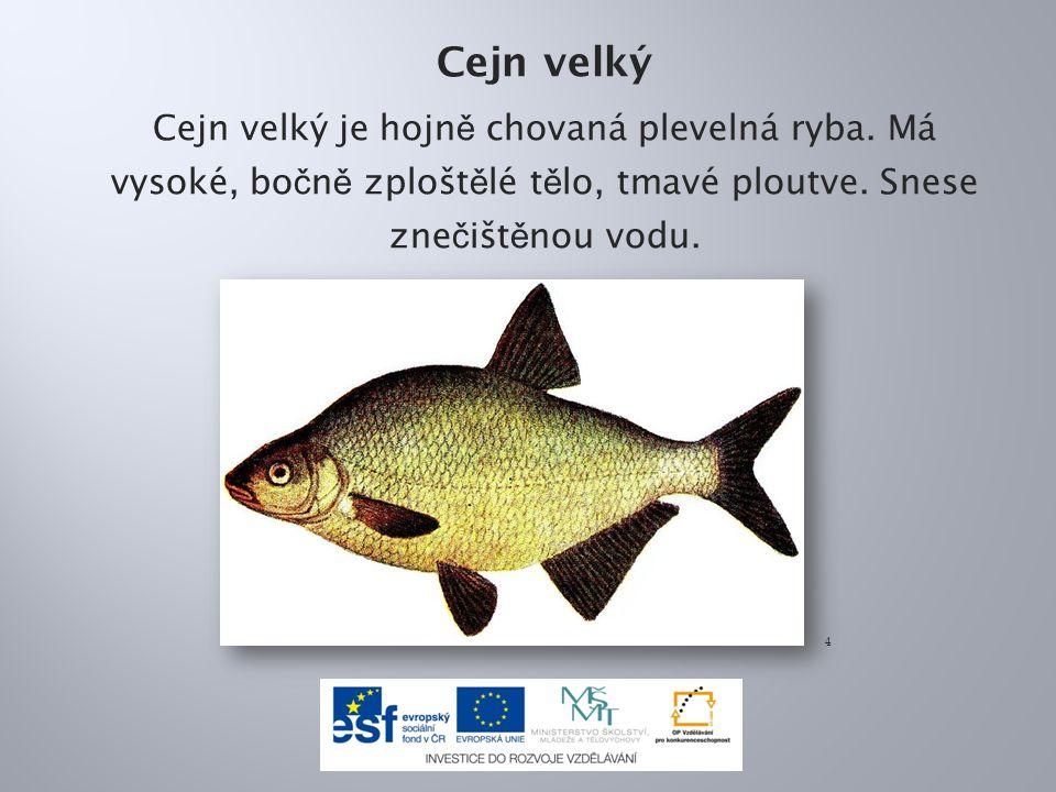 Cejn velký Cejn velký je hojně chovaná plevelná ryba. Má vysoké, bočně zploštělé tělo, tmavé ploutve. Snese znečištěnou vodu.