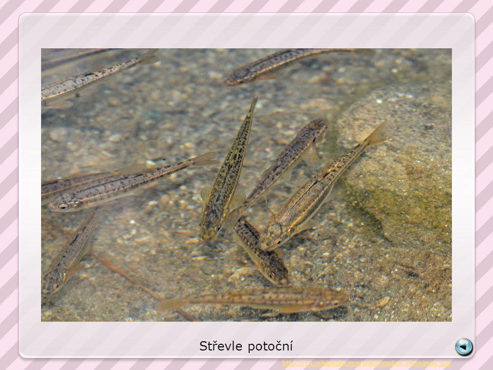 Střevle potoční http://cs.wikipedia.org/wiki/Soubor:Phoxinus.jpg