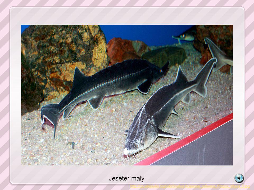 Jeseter malý http://cs.wikipedia.org/wiki/Soubor:Acipenser_ruthenus_Prague_Vltava_3.jpg