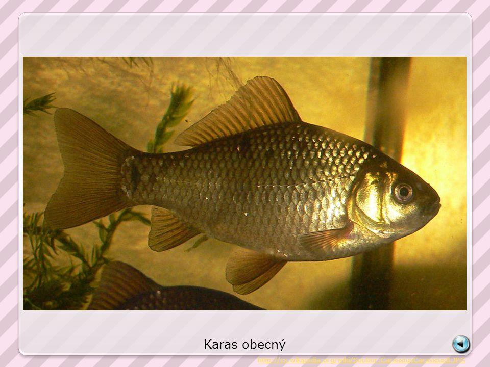 Karas obecný http://cs.wikipedia.org/wiki/Soubor:CarassiusCarassius8.JPG
