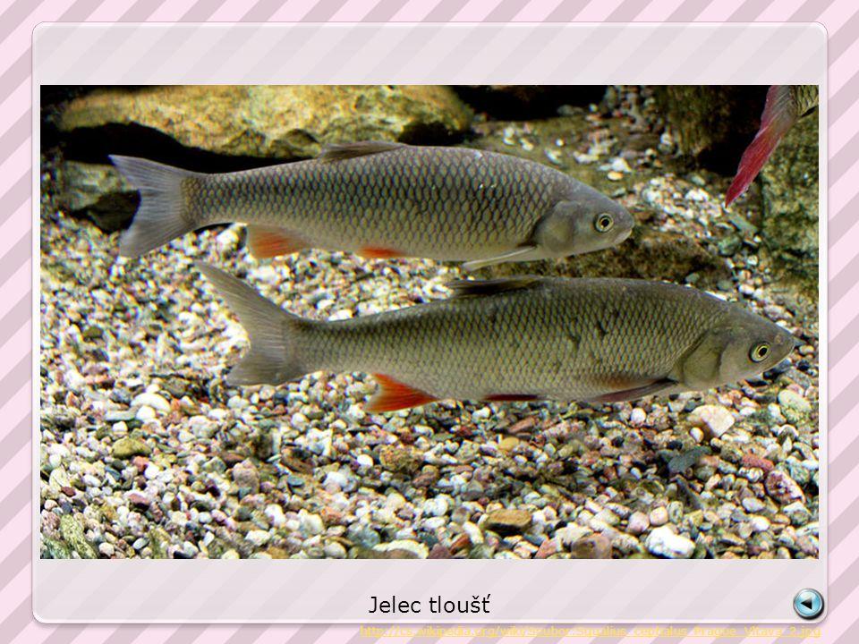 Jelec tloušť http://cs.wikipedia.org/wiki/Soubor:Squalius_cephalus_Prague_Vltava_2.jpg