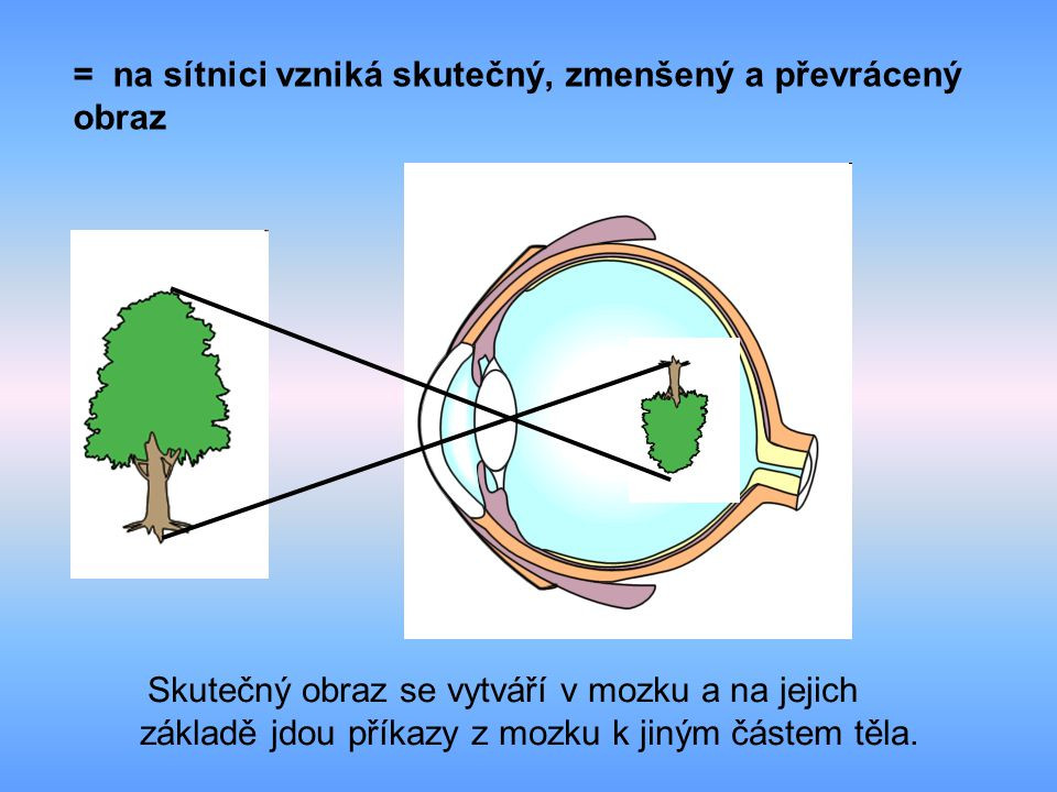 = na sítnici vzniká skutečný, zmenšený a převrácený obraz