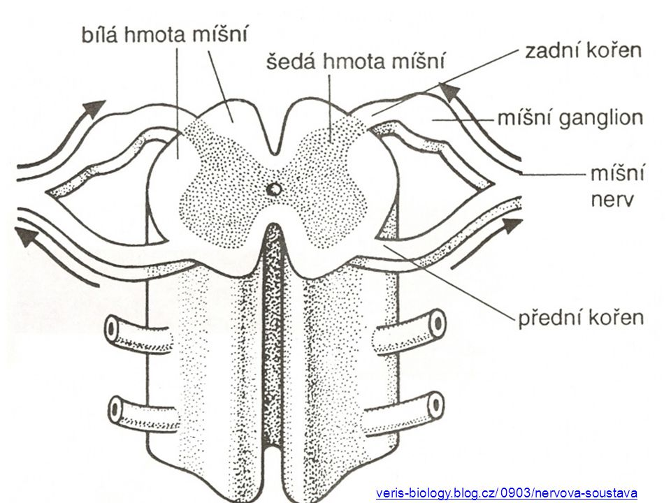 veris-biology.blog.cz/ 0903/nervova-soustava