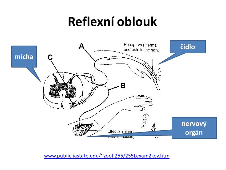 Reflexní oblouk čidlo mícha nervový orgán