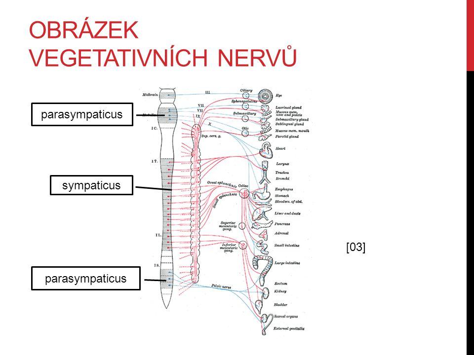 Obrázek vegetativních nervů