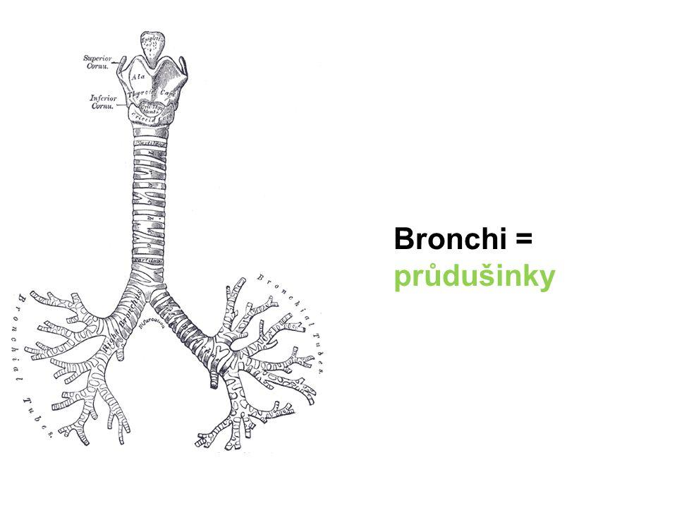 Bronchi = průdušinky