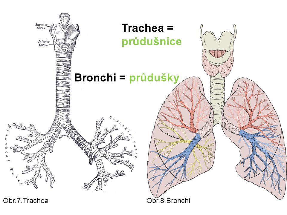 Trachea = průdušnice Bronchi = průdušky Obr.7.Trachea Obr.8.Bronchi