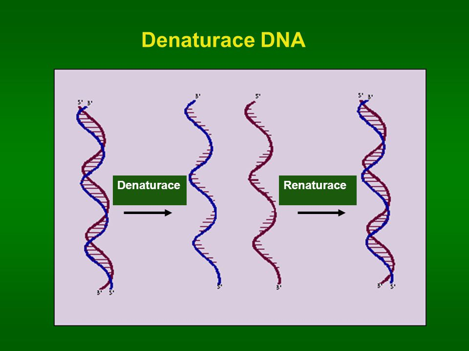 Denaturace DNA Denaturace Renaturace