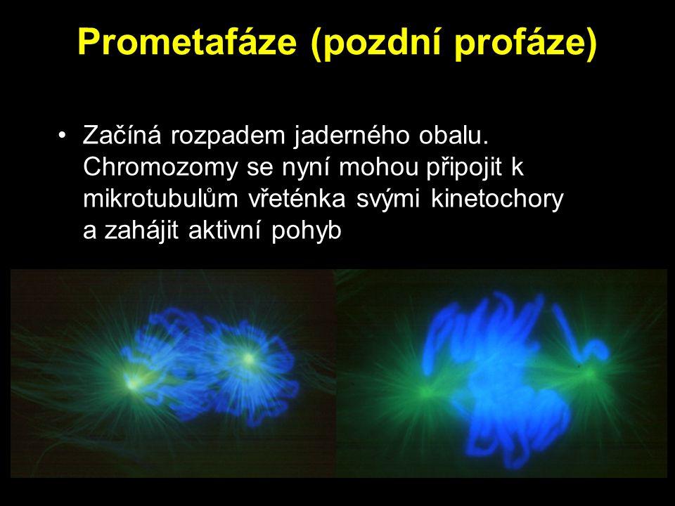 Prometafáze (pozdní profáze)