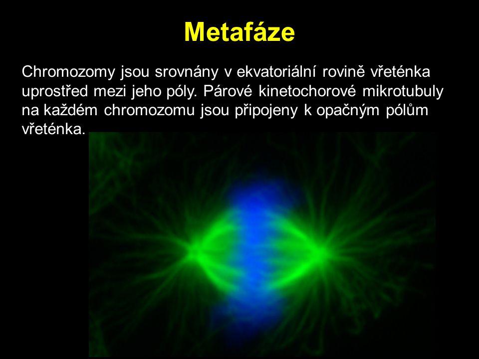 Metafáze Chromozomy jsou srovnány v ekvatoriální rovině vřeténka