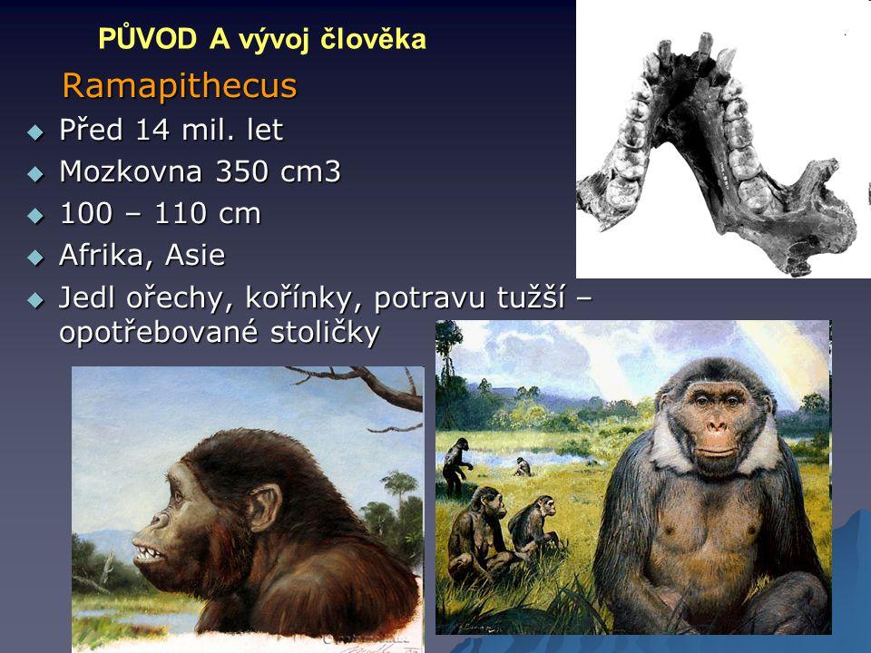 Ramapithecus PŮVOD A vývoj člověka Před 14 mil. let Mozkovna 350 cm3