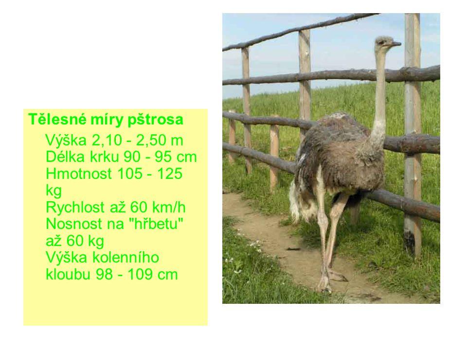 Tělesné míry pštrosa