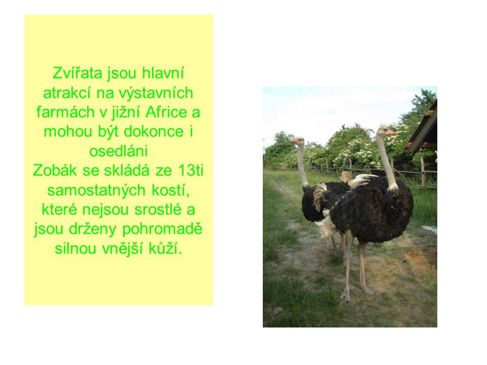 Zvířata jsou hlavní atrakcí na výstavních farmách v jižní Africe a mohou být dokonce i osedláni Zobák se skládá ze 13ti samostatných kostí, které nejsou srostlé a jsou drženy pohromadě silnou vnější kůží.