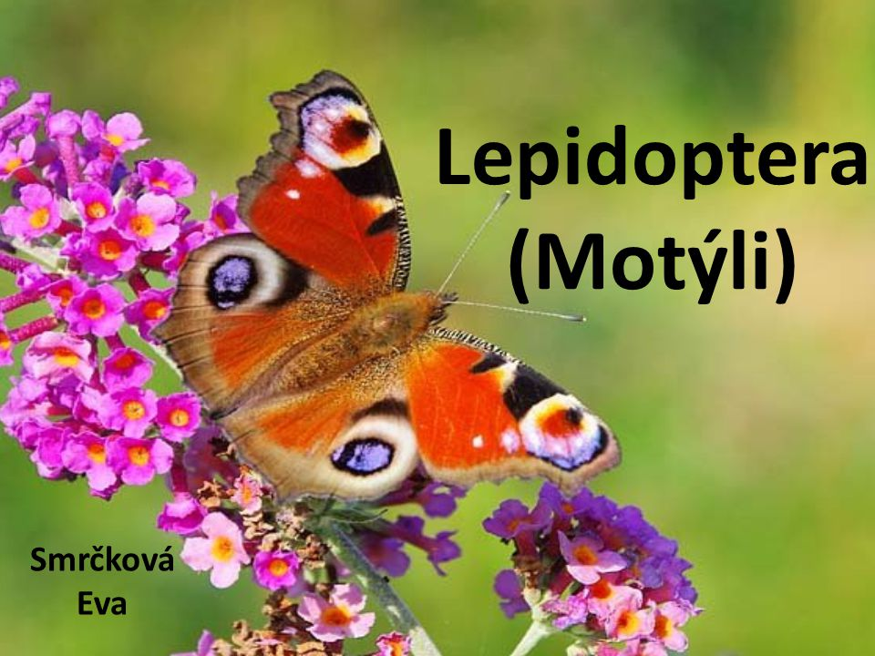 Lepidoptera (Motýli) Smrčková Eva