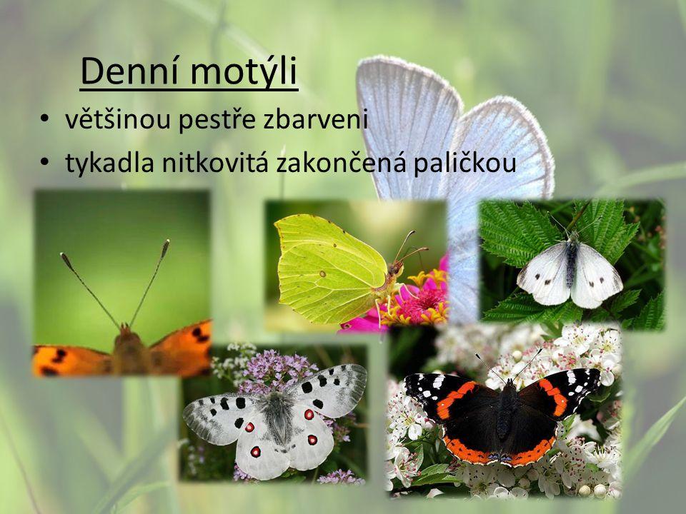 Denní motýli většinou pestře zbarveni