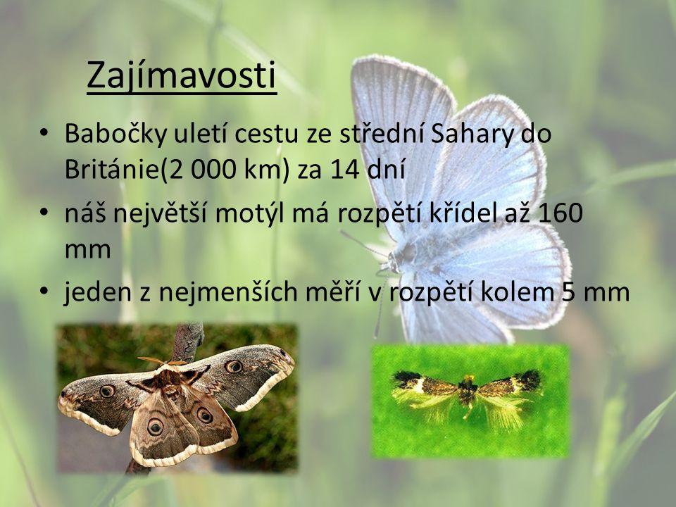 Zajímavosti Babočky uletí cestu ze střední Sahary do Británie(2 000 km) za 14 dní. náš největší motýl má rozpětí křídel až 160 mm.