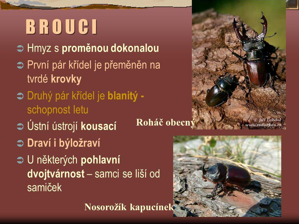 B R O U C I Hmyz s proměnou dokonalou
