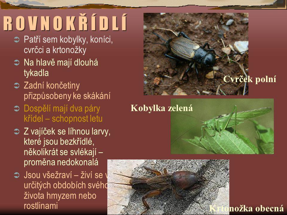 R O V N O K Ř Í D L Í Patří sem kobylky, koníci, cvrčci a krtonožky