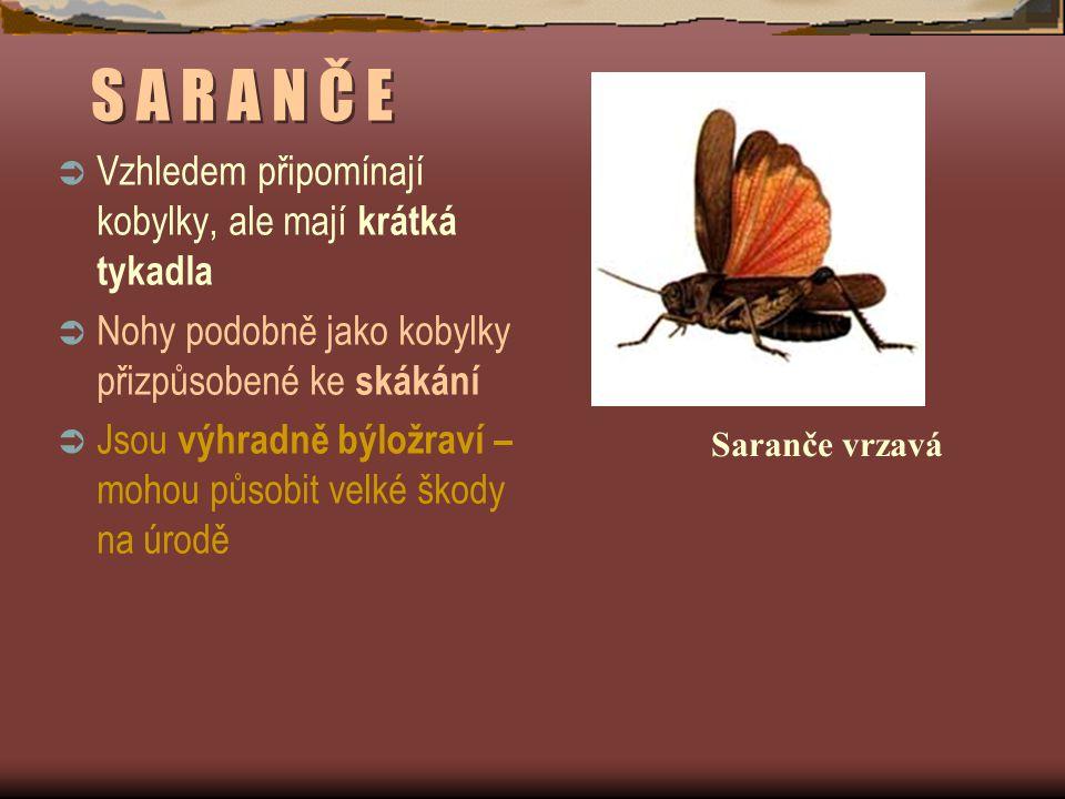 S A R A N Č E Vzhledem připomínají kobylky, ale mají krátká tykadla