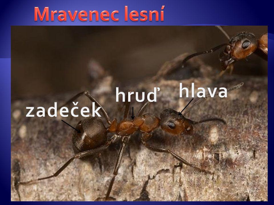 Mravenec lesní hlava hruď zadeček