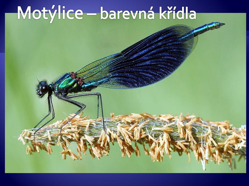 Motýlice – barevná křídla