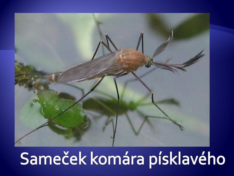 Sameček komára písklavého