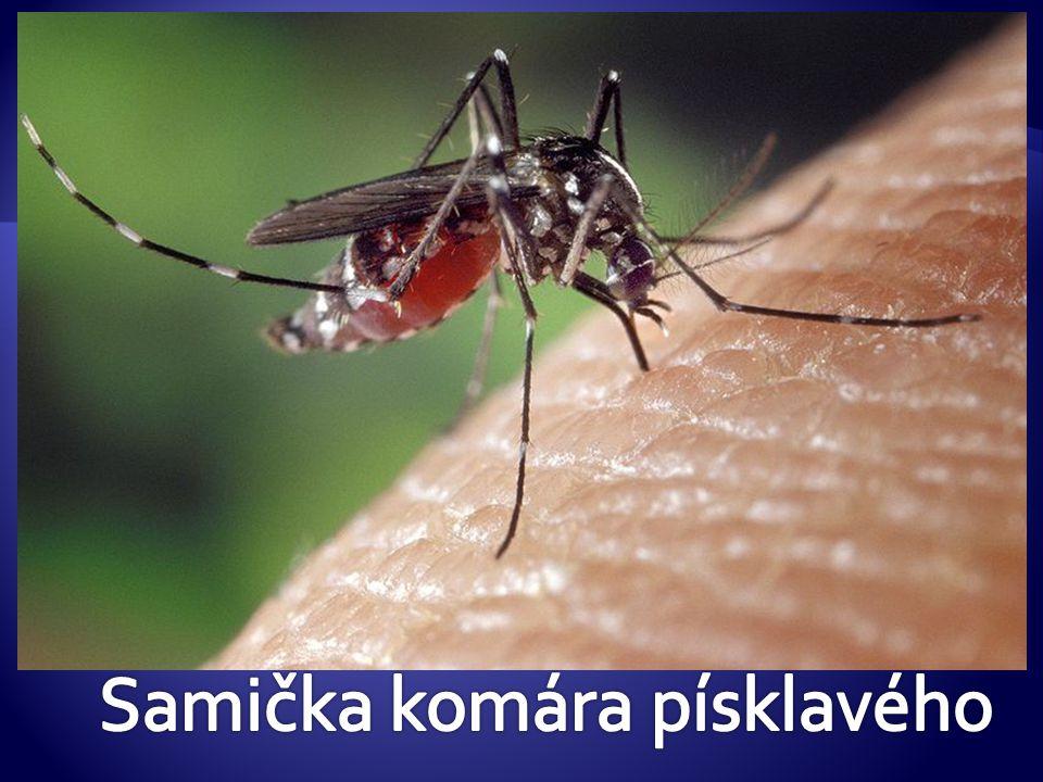 Samička komára písklavého