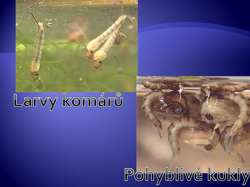 Larvy komárů Pohyblivé kukly