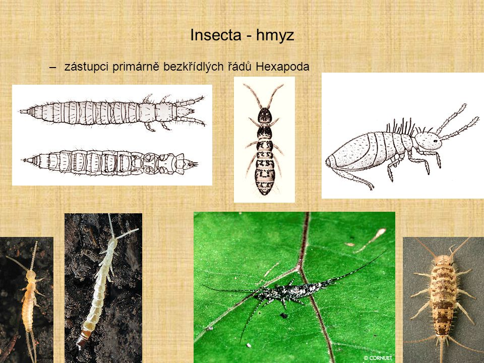 Insecta - hmyz zástupci primárně bezkřídlých řádů Hexapoda