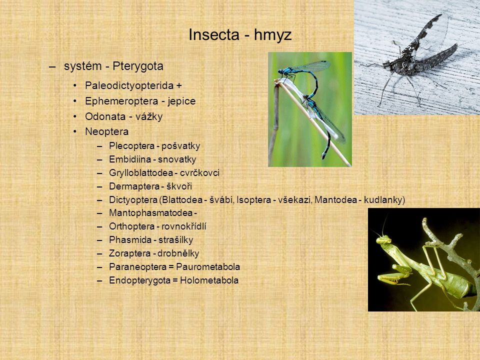 Insecta - hmyz systém - Pterygota Paleodictyopterida +