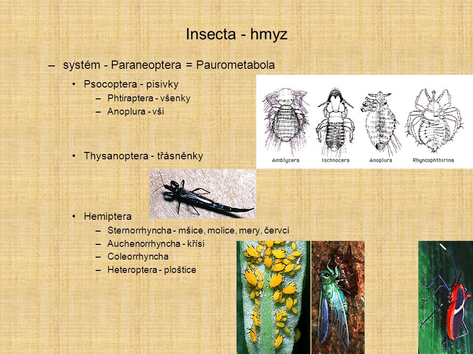 Insecta - hmyz systém - Paraneoptera = Paurometabola