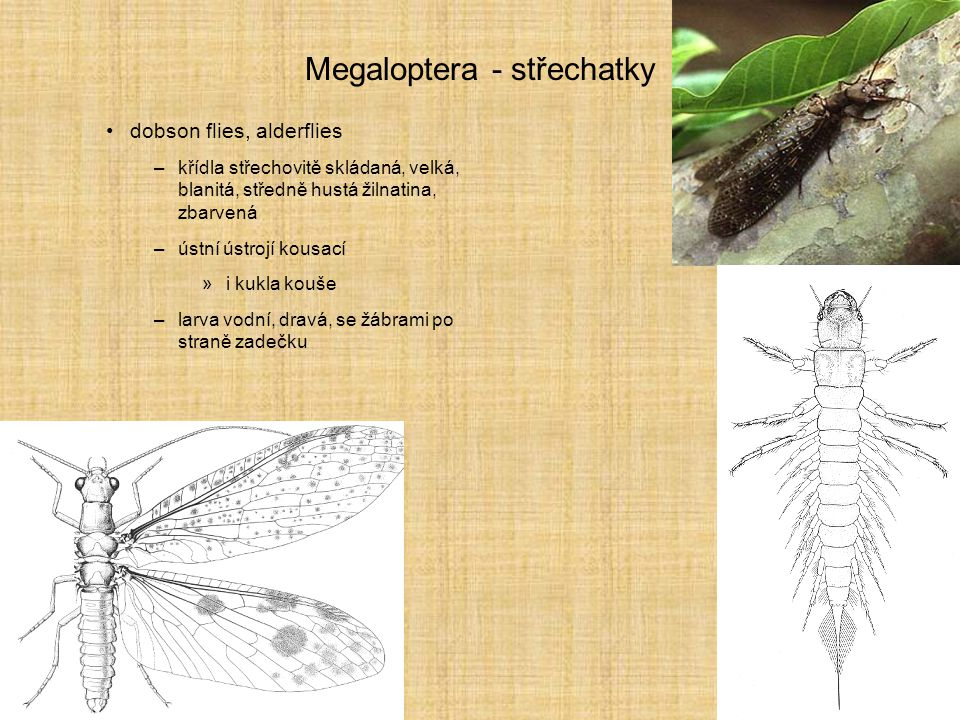 Megaloptera - střechatky