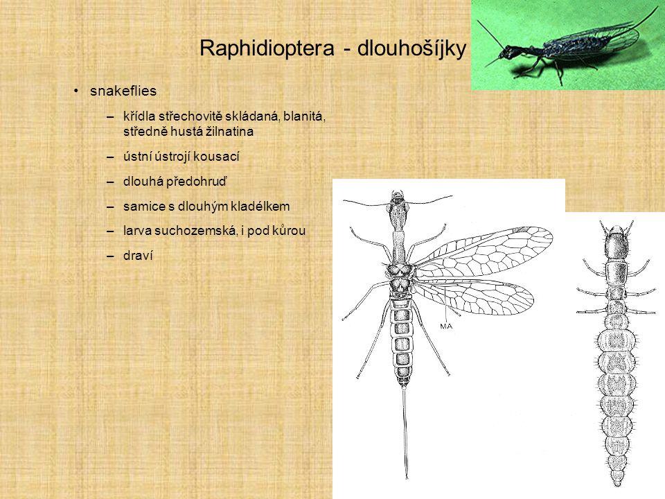 Raphidioptera - dlouhošíjky