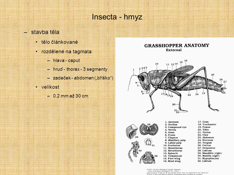 Insecta - hmyz stavba těla tělo článkované rozdělené na tagmata